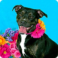 Adopt A Pet :: Ellie *PENDING* - Lima, OH