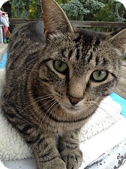 Domestic Shorthair Cat for adoption in North Plainfield, New Jersey - Santino