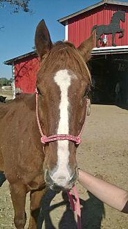 Quarterhorse Mix for adoption in Hitchcock, Texas - Presley