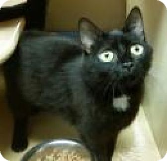 Domestic Shorthair Cat for adoption in North Haven, Connecticut - Leticia