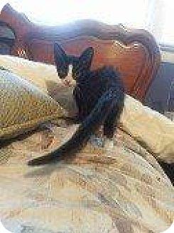 Domestic Shorthair Kitten for adoption in Hampton, Virginia - CHEER BEAR