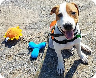Boxer/English Springer Spaniel Mix Puppy for adoption in HAGGERSTOWN, Maryland - SPENCER