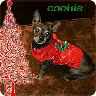 Dachshund/Chihuahua Mix Dog for adoption in Hollister, California - Cookie