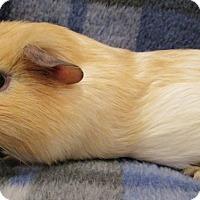 Adopt A Pet :: Tom - Steger, IL