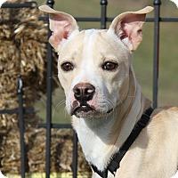 Adopt A Pet :: Bentley (Neutered) - Marietta, OH
