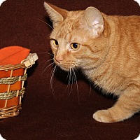 Adopt A Pet :: Milo (Spayed) - Marietta, OH
