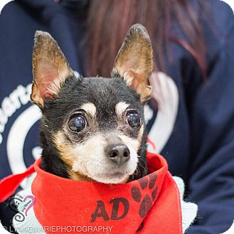 Chihuahua Mix Dog for adoption in Grand Rapids, Michigan - Abbie