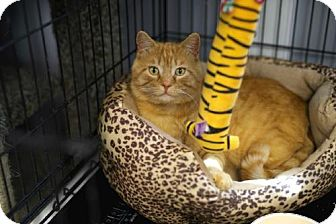 Domestic Shorthair Cat for adoption in Carroll, Iowa - Bob