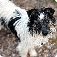 Toy Fox Terrier/Dachshund Mix Dog for adoption in Goldens Bridge, New York - Nash *Great w/dogs, cats,kids