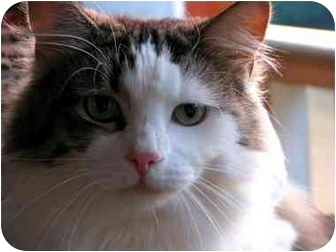 Domestic Longhair Cat for adoption in Maxwelton, West Virginia - Ralph
