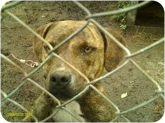 American Pit Bull Terrier Mix Dog for adoption in Emory, Texas - MaKenzie
