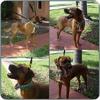 Boxer Mix Dog for adoption in hollywood, Florida - Zeus