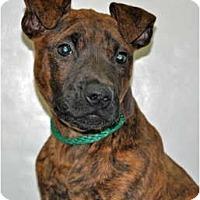 Adopt A Pet :: Sophie - Port Washington, NY