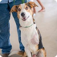 Adopt A Pet :: Bugsby - San Antonio, TX