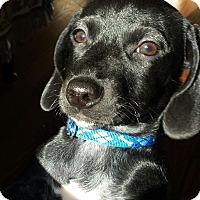 Adopt A Pet :: Little Jack - Marietta, GA