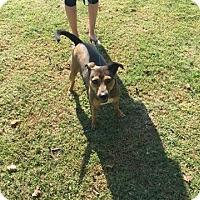 Adopt A Pet :: Terrier Mix - Saline County IL - Plainfield, IL