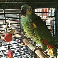 Amazon for adoption in Punta Gorda, Florida - Big Bird
