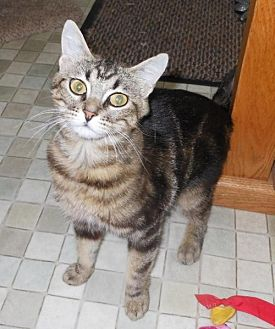 Domestic Mediumhair Cat for adoption in Morgan Hill, California - Victoria