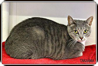 Domestic Shorthair Cat for adoption in Dunkirk, New York - Tarzania