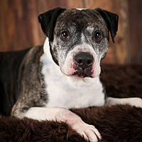 Pit Bull Terrier Mix Dog for adoption in Minneapolis, Minnesota - Striker