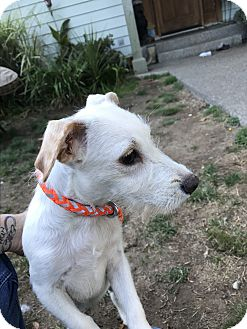 Terrier (Unknown Type, Small) Mix Puppy for adoption in Tumwater, Washington - Mac