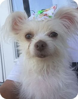 Maltese/Chinese Crested Mix Dog for adoption in Columbus, Ohio - Lea