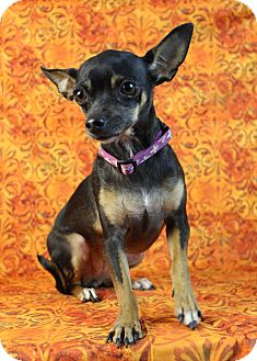Chihuahua Mix Dog for adoption in Westminster, Colorado - Miki