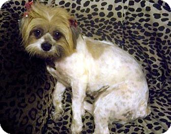 Lhasa Apso/Shih Tzu Mix Dog for adoption in Los Angeles, California - YANCI