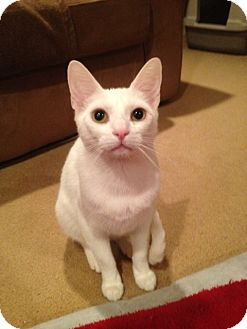 Domestic Shorthair Cat for adoption in Mount Laurel, New Jersey - Scampi