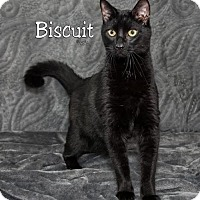 Domestic Shorthair Cat for adoption in Fort Mill, South Carolina - Biscuit 5381