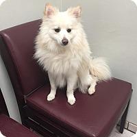 Adopt A Pet :: Bailey CA - Elmhurst, IL