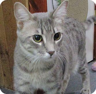 Domestic Shorthair Cat for adoption in Witter, Arkansas - Willow