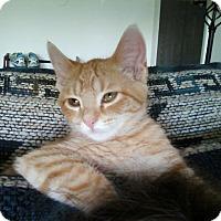 Domestic Shorthair Cat for adoption in Mesa, Arizona - Scarlett