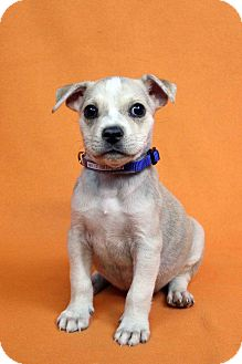 Blue Heeler Mix Puppy for adoption in Westminster, Colorado - INKY