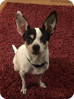 Chihuahua/Terrier (Unknown Type, Small) Mix Dog for adoption in Pennigton, New Jersey - Daisy