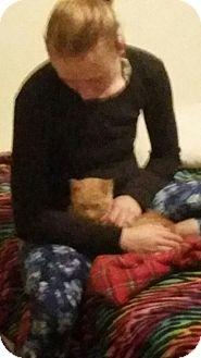Domestic Shorthair Kitten for adoption in Virginia Beach, Virginia - Golden Nugget