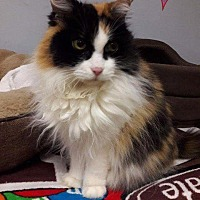 Domestic Longhair Cat for adoption in Leonardtown, Maryland - Cheyenne