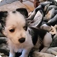 Adopt A Pet :: Cupcake - springtown, TX