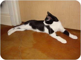 Manx Kitten for adoption in Lake Charles, Louisiana - Hop-Along