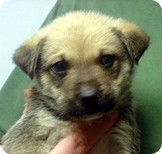 German Shepherd Dog Mix Puppy for adoption in Greencastle, North Carolina - Lassie