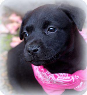 Labrador Retriever/French Bulldog Mix Puppy for adoption in Groton, Massachusetts - Annie