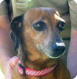 Dachshund Dog for adoption in white settlment, Texas - Pixie