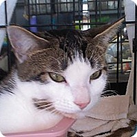 Domestic Shorthair Cat for adoption in Parkton, North Carolina - Strawberry