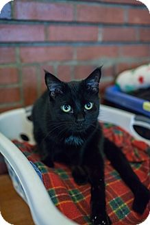 Domestic Shorthair Cat for adoption in Statesville, North Carolina - Colt
