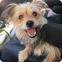 Adopt A Pet :: Little Skipper - Van Nuys, CA