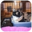 Photo 1 - Calico Cat for adoption in Chino, California - Theresa