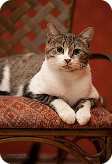 Domestic Shorthair Cat for adoption in St. Louis, Missouri - Bonk