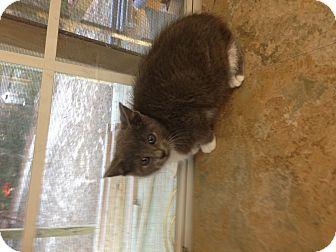 Domestic Shorthair Kitten for adoption in Aiken, South Carolina - Whiskers