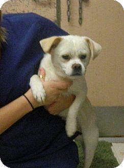 Pug/Shih Tzu Mix Dog for adoption in Rockaway, New Jersey - Zeus II