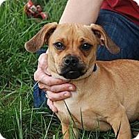 Adopt A Pet :: Tiger - Albany, NY